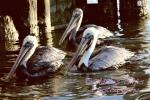 Famous Kemah Pelicans