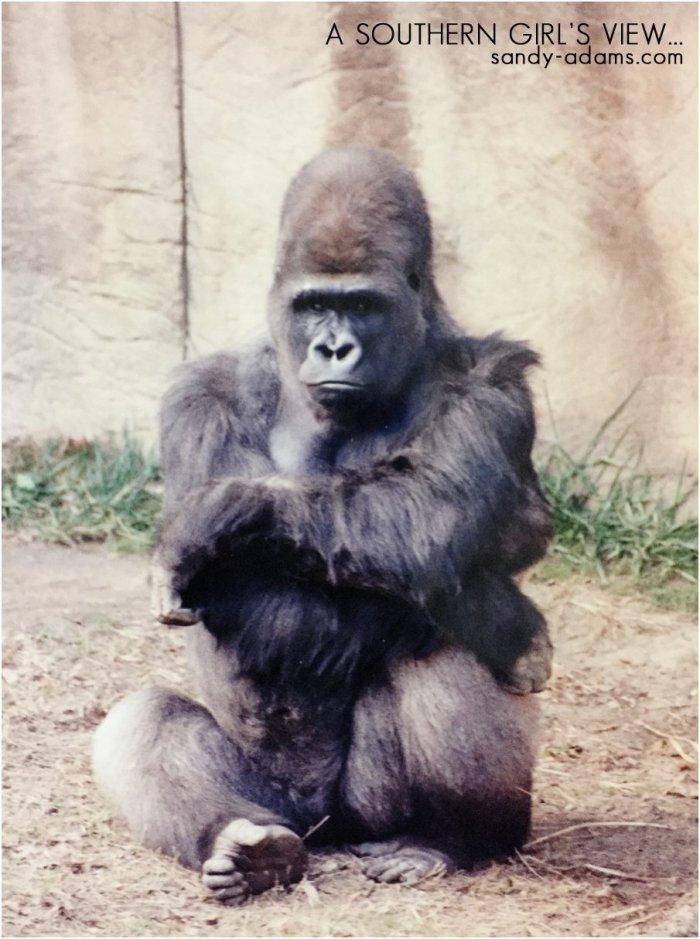 gorilla memphis zoo Sandy Adams Photography League City Friendswood portrait photographer