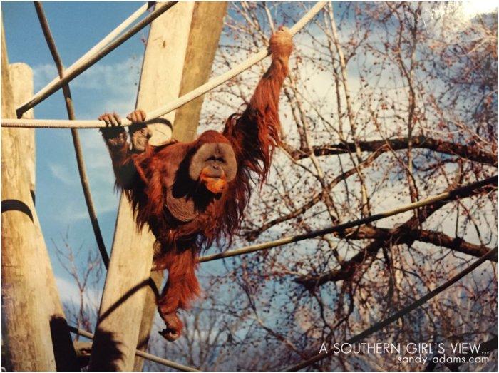orangutan memphis zoo Sandy Adams Photography League City Friendswood portrait photographer